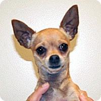Chihuahua Mix Dog for adoption in Wildomar, California - Kya