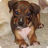 Hound (Unknown Type) Mix Puppy for adoption in Redmond, Washington - Trent