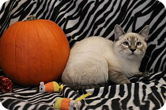 Siamese Kitten for adoption in Aurora, Colorado - Wiggins