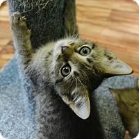 Adopt A Pet :: Tuffy - Springfield, IL
