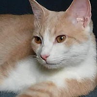 Domestic Shorthair Kitten for adoption in Columbus, Ohio - Pinkie