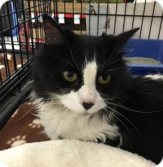 Domestic Mediumhair Cat for adoption in Incline Village, Nevada - Oreo