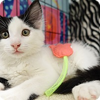 Adopt A Pet :: Domino - College Station, TX