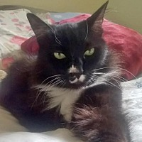 Adopt A Pet :: Boots - Springfield, OR
