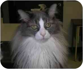 Domestic Longhair Cat for adoption in Windsor, Ontario - Malcom