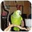"""Photo 3 - Amazon for adoption in Vancouver, Washington - """"Chro""""Lkng4Guitar Plyr"""
