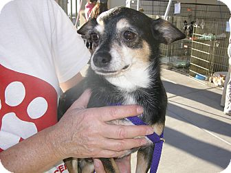 Las vegas nv chihuahua mix meet edward a dog for adoption for Dog rescue las vegas nv