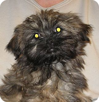 Shih Tzu Puppy for adoption in Salem, New Hampshire - Ron Weasley