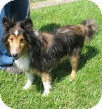 Sheltie, Shetland Sheepdog Mix Dog for adoption in Richmond, Virginia - Brodie