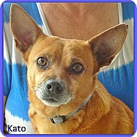 Chihuahua Mix Dog for adoption in Eddy, Texas - Kato