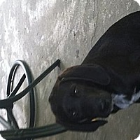 Adopt A Pet :: Bo - East McKeesport, PA