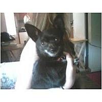 Adopt A Pet :: Munchkin - Everett, WA