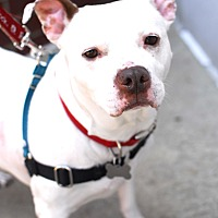 American Pit Bull Terrier/American Staffordshire Terrier Mix Dog for adoption in Detroit, Michigan - Dot
