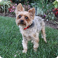 Santa Ana Ca Yorkie Yorkshire Terrier Silky Terrier Mix Meet Suki A Dog For Adoption