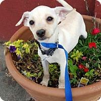 Adopt A Pet :: Axel Rose - Vacaville, CA
