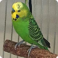 Adopt A Pet :: Jade - Fairfax, VA