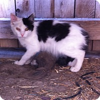Domestic Longhair Kitten for adoption in Trenton, Utah - Lyddie
