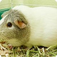 Adopt A Pet :: Asia - Millersville, MD