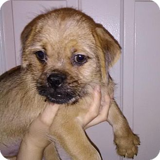 Pug/Yorkie, Yorkshire Terrier Mix Puppy for adoption in Venice, Florida - Rickon