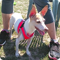 Rat Terrier Dog for adoption in Mastic Beach, New York - Lexi !