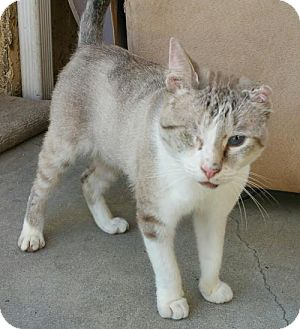 Domestic Shorthair Cat for adoption in Los Angeles, California - Lovie