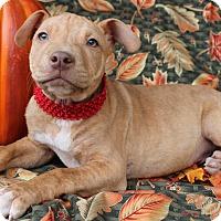 Labrador Retriever Mix Puppy for adoption in East Dover, Vermont - Zolton - PENDING