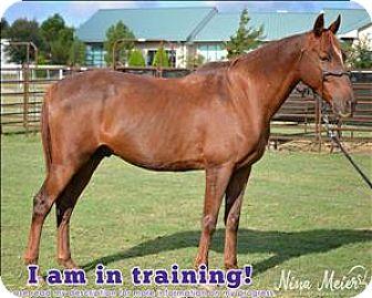 Quarterhorse Mix for adoption in McKinney, Texas - Sheldon