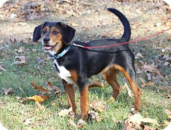 Beagle Mix Dog for adoption in Allentown, Pennsylvania - PUPPY JESSIE