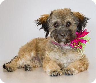 Toy Poodle Mix Dog for adoption in Phelan, California - Dolly