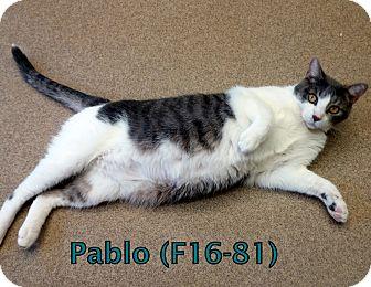 American Shorthair Cat for adoption in Tiffin, Ohio - Pablo