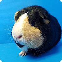 Adopt A Pet :: Uhura - Lewisville, TX