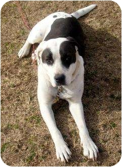 American Bulldog/Collie Mix Dog for adoption in Glenpool, Oklahoma - Patches