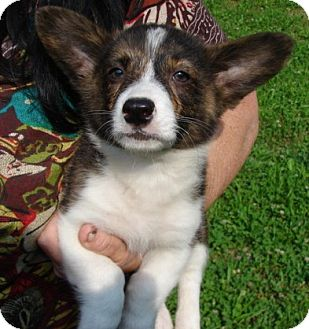 "Corgi Mix Puppy for adoption in Afton, Tennessee - Corgi Pup 1 ""Larry"""