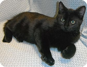 Domestic Shorthair Kitten for adoption in Jackson, Michigan - Henry