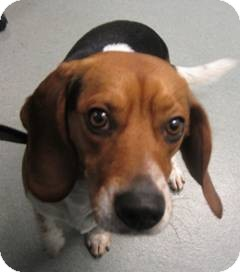 Beagle Dog for adoption in Indianapolis, Indiana - Toby