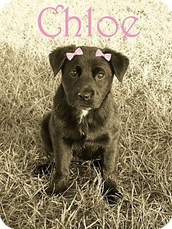Labrador Retriever Mix Puppy for adoption in Largo, Florida - Chloe