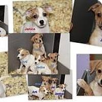 Adopt A Pet :: Chiweenie Babies - Marlton, NJ
