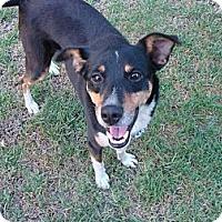 Adopt A Pet :: Beau - La Habra, CA