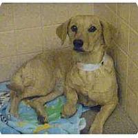 Adopt A Pet :: Rose - Only $75 adoption fee! - Litchfield Park, AZ