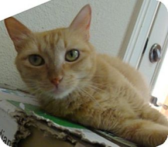 Domestic Shorthair Cat for adoption in League City, Texas - RHIANNON