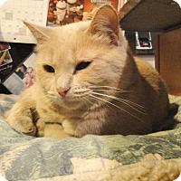 Domestic Shorthair Cat for adoption in Palatine, Illinois - Marishka