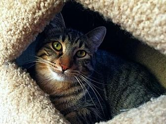 Domestic Shorthair Cat for adoption in Prescott, Arizona - Mr. Big