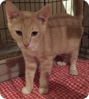Domestic Shorthair Cat for adoption in La Canada Flintridge, California - Gus