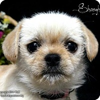 Adopt A Pet :: Shanghai - Simi Valley, CA