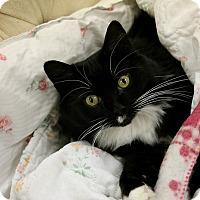 Domestic Mediumhair Cat for adoption in Medina, Ohio - Kiki