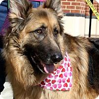 German Shepherd Dog Dog for adoption in Morrisville, North Carolina - Georgie (and Gracie)