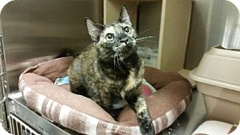 Domestic Shorthair Cat for adoption in Surprise, Arizona - Skedaddle