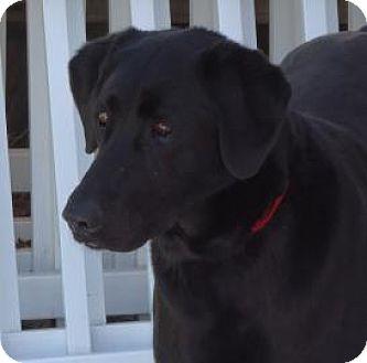 Labrador Retriever Mix Dog for adoption in Evans, Colorado - Olivia