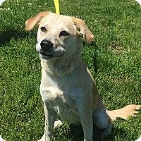 Labrador Retriever Mix Dog for adoption in Gallatin, Tennessee - Sweetness