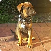 Adopt A Pet :: Bane - Homestead, FL